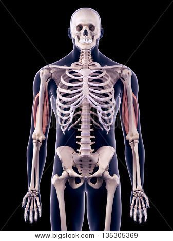 3d rendered, medically accurate illustration of the triceps
