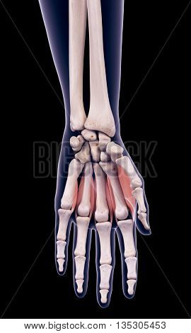 3d rendered, medically accurate illustration of the dorsal interosseous