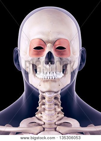 3d rendered, medically accurate illustration of the orbicularis oculi