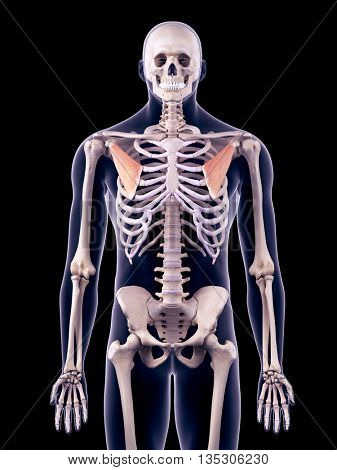 3d rendered, medically accurate illustration of the pectoralis minor