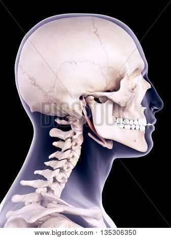 3d rendered, medically accurate illustration of the stylohyoid