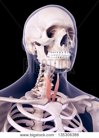 3d rendered, medically accurate illustration of the sternothyroid
