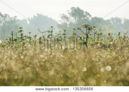 Hogweed thicket with defocused foreground at sunrise horizontal
