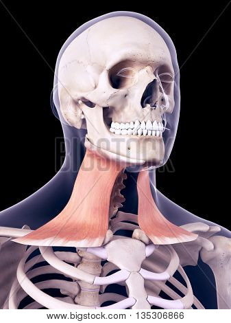 3d rendered, medically accurate illustration of the platysma