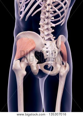 3d rendered, medically accurate illustration of the gluteus minimus