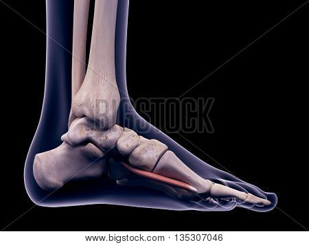 3d rendered, medically accurate illustration of the flexor hallucis brevis