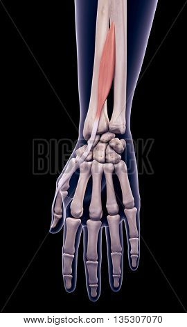 3d rendered, medically accurate illustration of the extensor pollicis longus