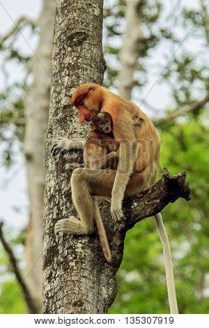 Proboscis monkeys baby and mother