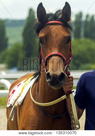Portrait of beautiful brown horse, Northern Caucasus