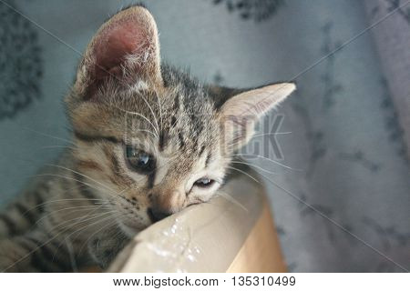 Adorable funny Cute Kitten cat lay down put face on box looking curiously. waiting for something.