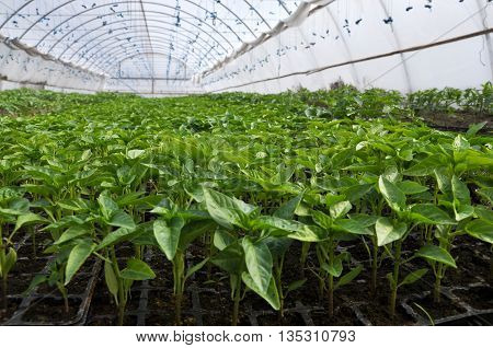 Soil greenhouse with plastic film which raised early tomatoes peppers cucumbers and other vegetables seedlings