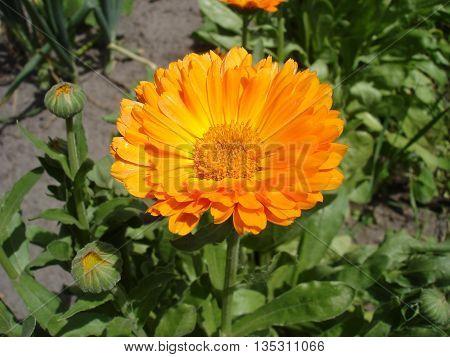 Calendula one orange flower and buds .
