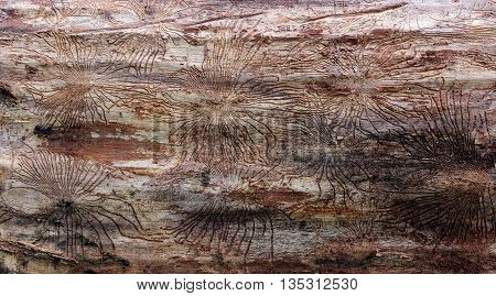 Traces of beetles under the bark on a spruce tree. tracks under the bark of dead trees left beetles Skolotina