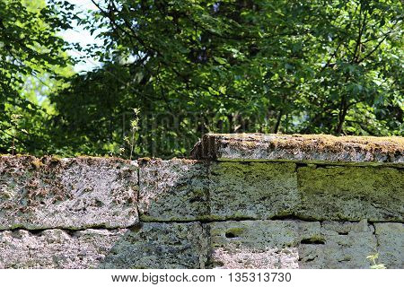 tree are growing in the wall near the park Sylvia, Gatchina, made of the famous pudostskogo stone, 17th century