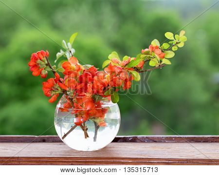 Bouquet of red flowers of a quince in a glass vase at a window. A vase on a wooden window sill against greens in an open window a close up an blured background