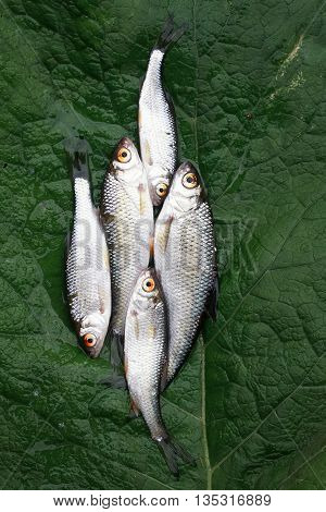 silver fish roach lying on the green leaf of burdock caught by fisherman