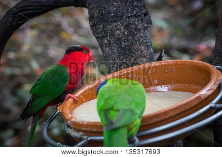 Color parrots eat from a plate on Tenerife island, Spain