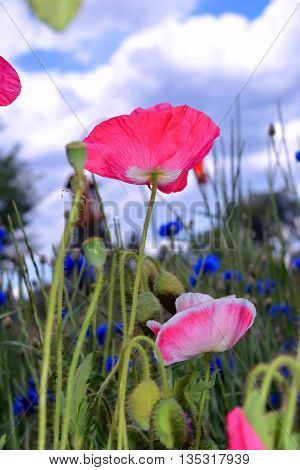 Pink Poppies Bloom in Wildflower Field Beneath Sky