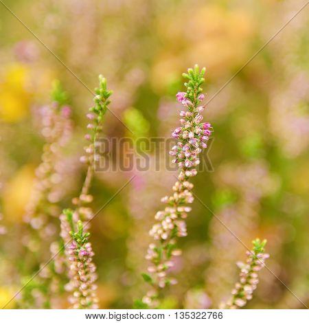 Blooming of beautiful heather flowers, natural seasonal vintage hipster floral background