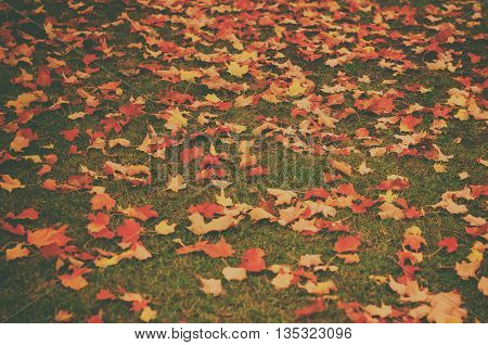 Autumn natural flat vintage hipster background with colorful red maple leaves on a green grass