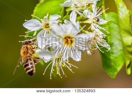 bee collects nectar from flowers with white petals