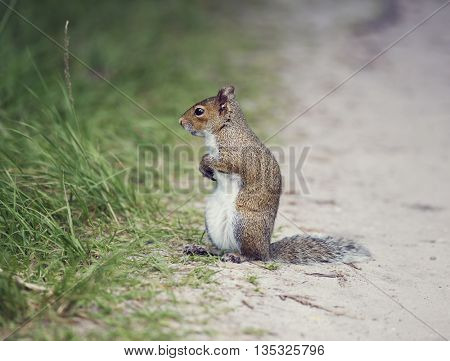 Eastern gray squirrel on a path