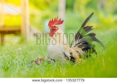 The little colourful chichen in the wide green field bantam chicken poultry