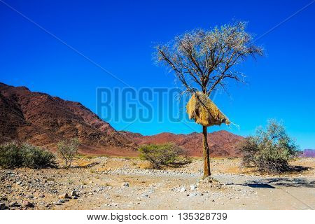 Huge colony of weaver birds. Jack arranged on a tree next to the road. Travel to Namibia, Africa