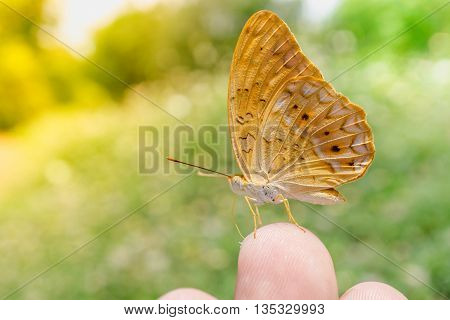 yellow Butterfly on finger in nature background The Common Yeoman Cirrochroa tyche rotundata