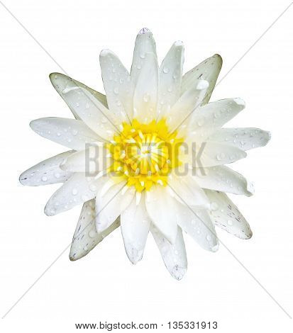 water lily isolated over white background with clipping path.