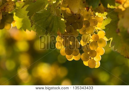 closeup of ripe grapes on vine in vineyard