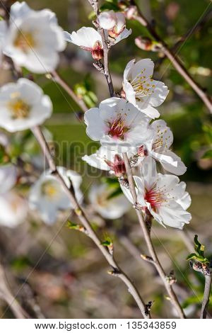 The bright flowers on a almond tree