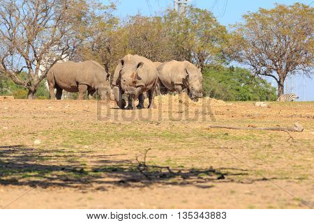 Three giant rhinoceros on a grass and tree