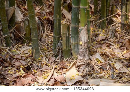 close up bamboo tree in forest Nakhon Nayok Thailand