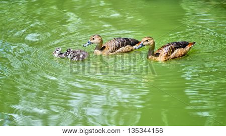 Ducks swimming in lake with ducks couple watching ducklings playing express warm, huddled by a family living happily together in peace