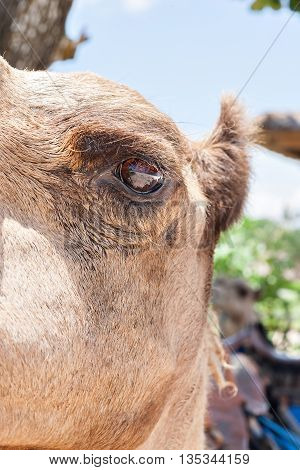 Camel eye open side closeup with the ear and head