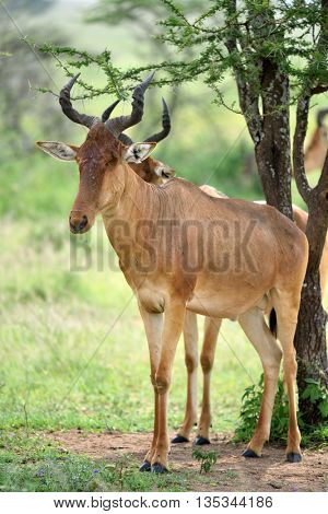 wild hartebeest (kongoni) african antelope in natural park