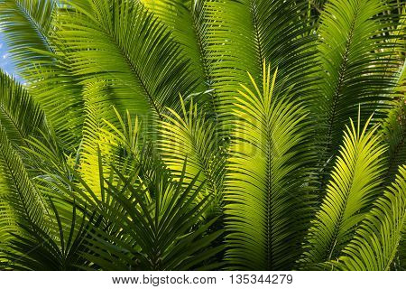 fresh palm tree leaves against blue sky