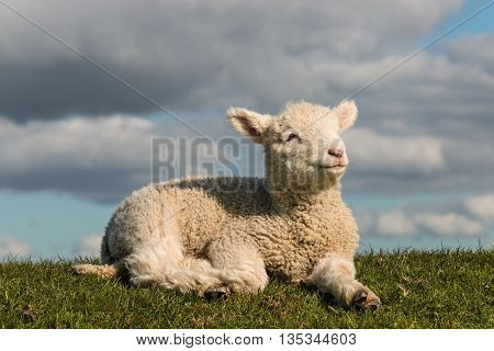closeup of baby lamb basking on grass
