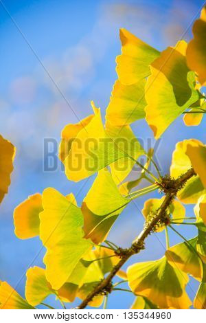 Bright yellow ginkgo leaves stand out against the blue sky.