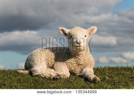 closeup of newborn lamb resting on grass