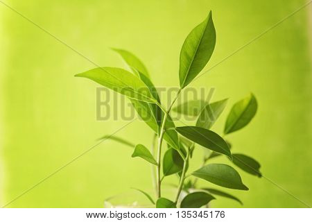 green tea leaves on green background