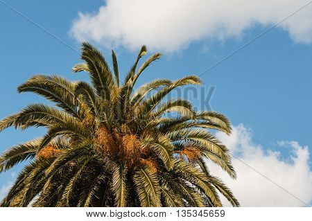 date palm leaves against blue sky with clouds