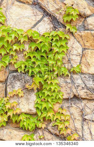 Green Ivy climb on brown brick wall exterior decoration.