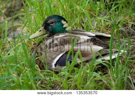 beautiful Drake on the grass basking in the sun near the lake