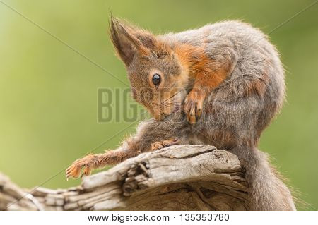 close up of red squirrel who is cleaning her self