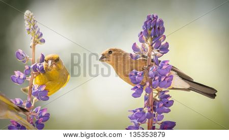 green finch and young bullfinch standing on lupine branch