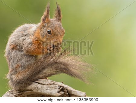 close up of red squirrel who is holding the tail