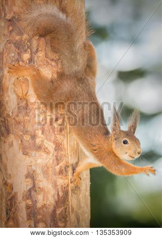 red squirrel hanging down from a tree waving with blurry hand moving