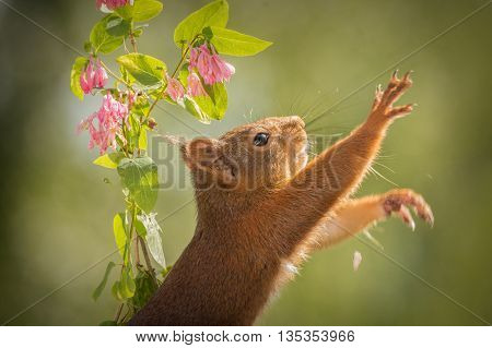 red squirrel hbetween branches with flowers reaching with blurry hand